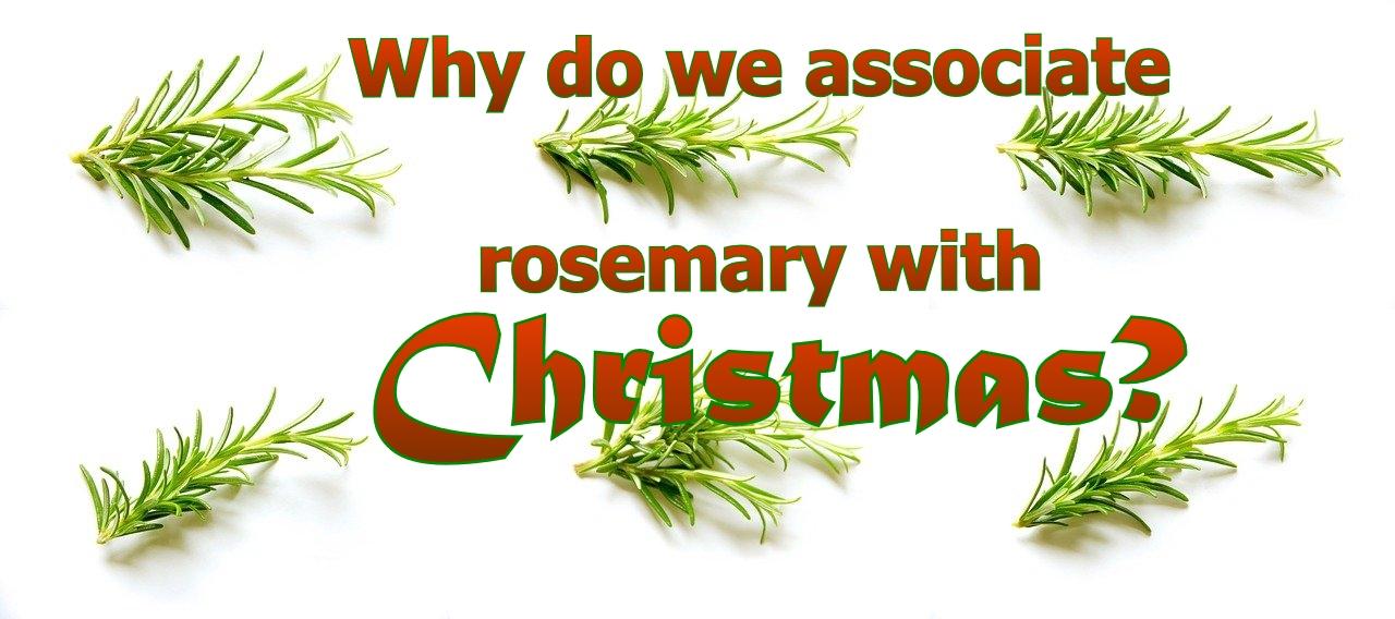 Rozemarijn: een kerstkruid